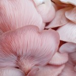 pink oyster mushrooms